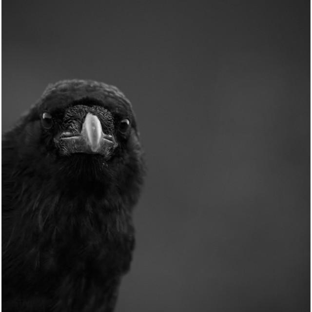 """Raven stare"" stock image"