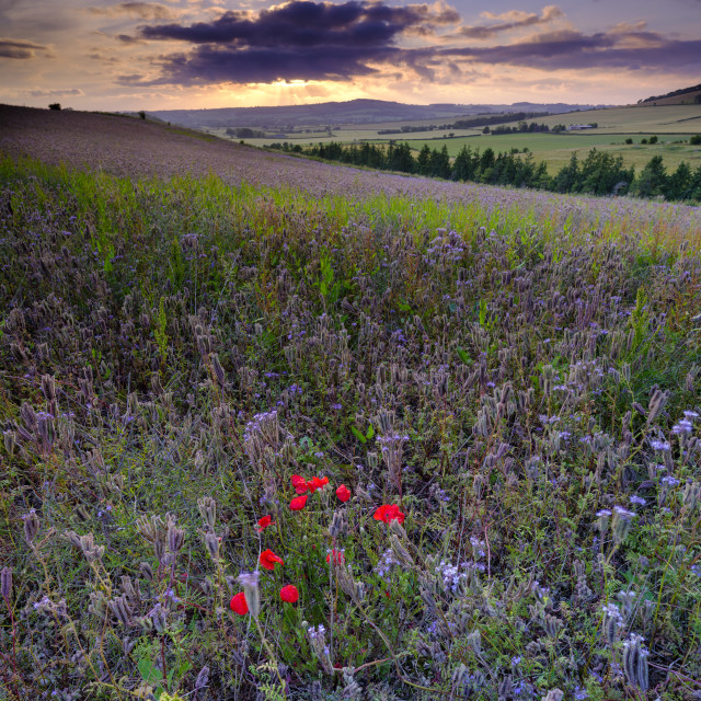 """Sunset over thistles and poppies in the Meon Valley, Hampshire,"" stock image"