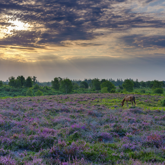 """Sunrise and heather with a grazing pony on Rockford Common, New"" stock image"