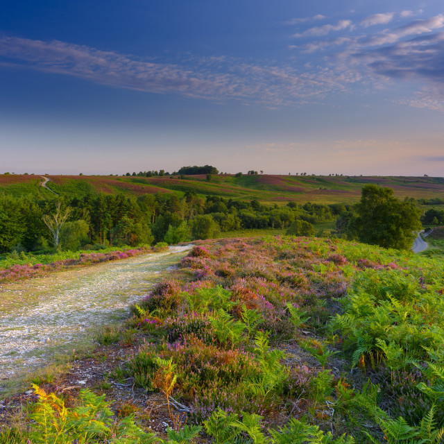 """Sunrise and heather on Rockford Common, New Forest"" stock image"
