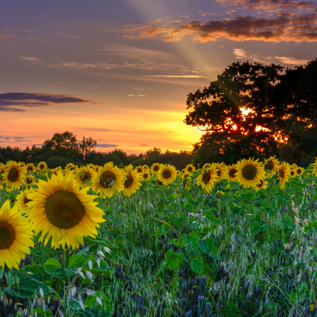 """Sunset on sunflowers"" stock image"