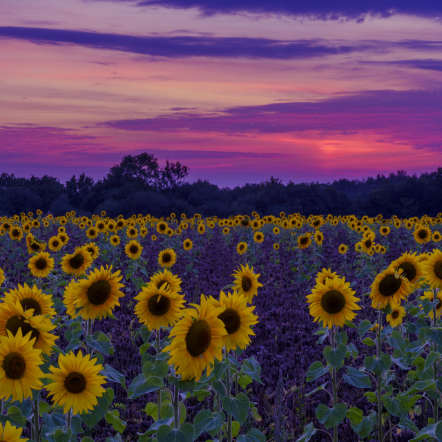 """Sunset and sunflowers in Hampshire"" stock image"