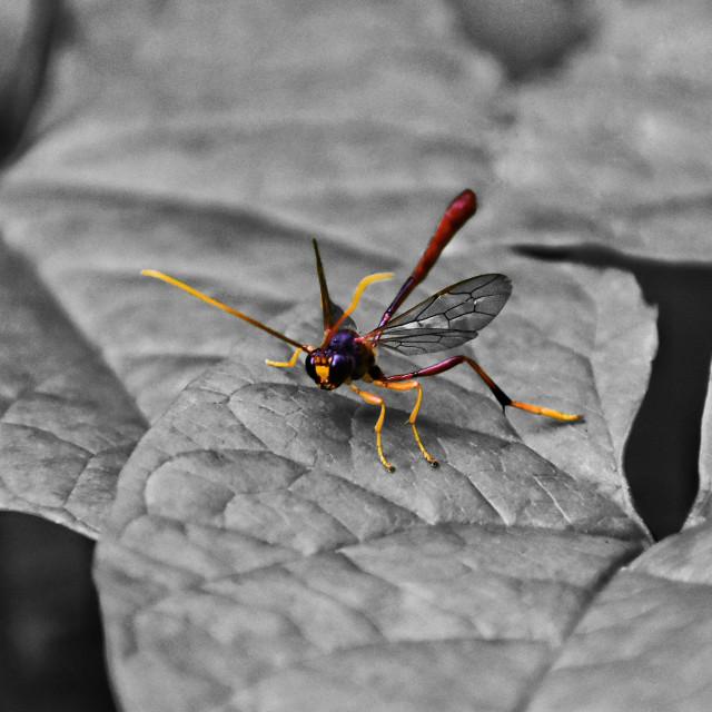 """""""Ichneumon Wasp"""" stock image"""