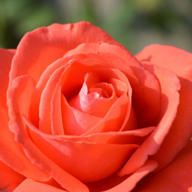 """Red ROse."" stock image"