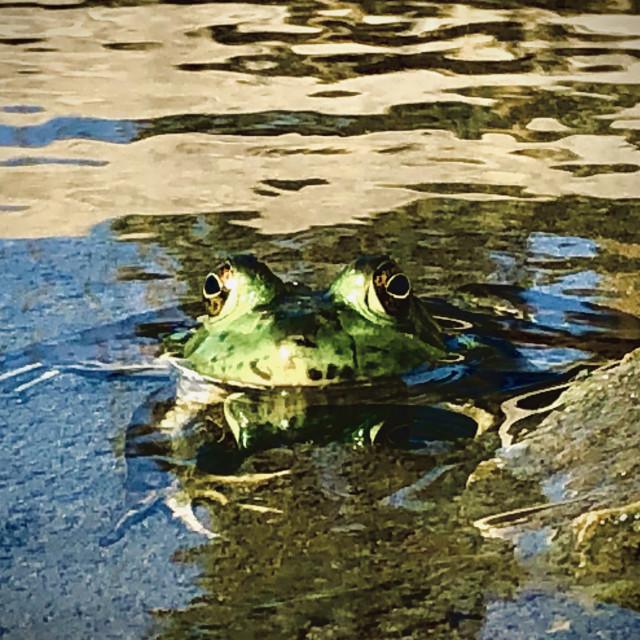 """""""The Peeking Frog"""" stock image"""