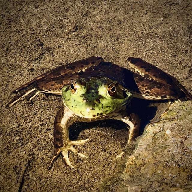 """""""The Basking Frog"""" stock image"""