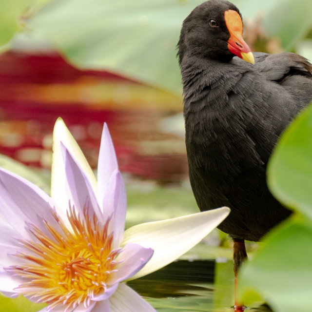 """""""Moorhen and water lily"""" stock image"""
