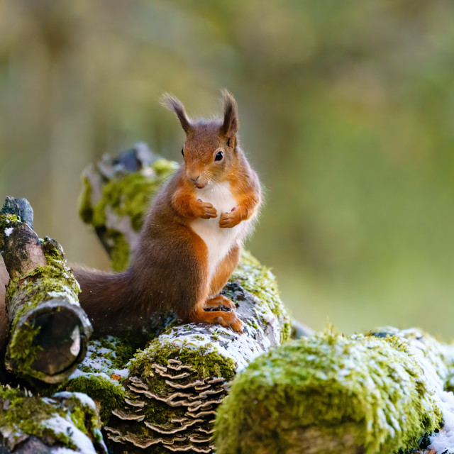"""red squirrel (Sciurus vulgaris) on some snow and moss coverd logs, surveying..."" stock image"