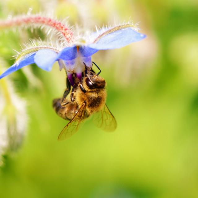 """Honey Bee."" stock image"