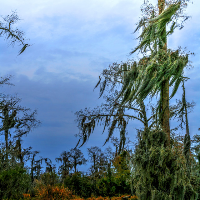 """""""New Orleans Swamps"""" stock image"""