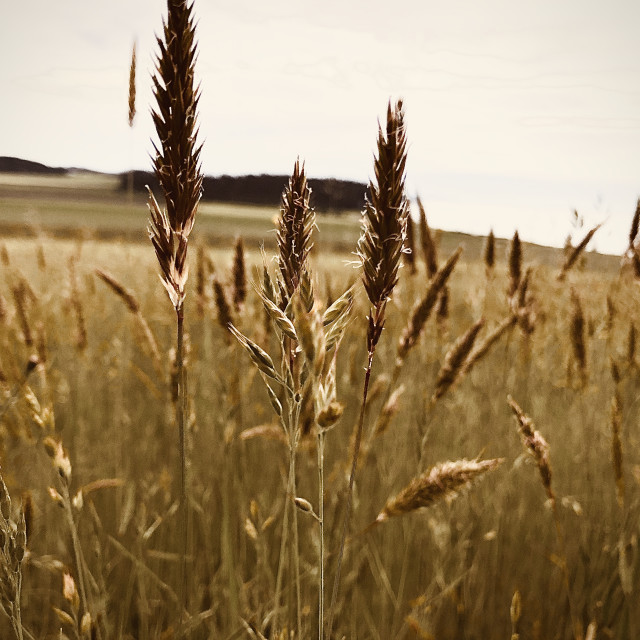 """""""Fields Of Gold"""" stock image"""