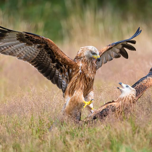 """""""Kite Fight"""" stock image"""