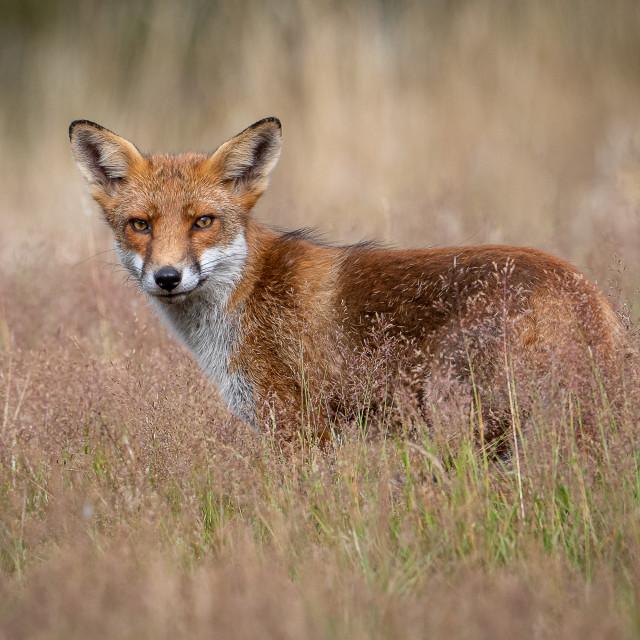 """Foxy"" stock image"