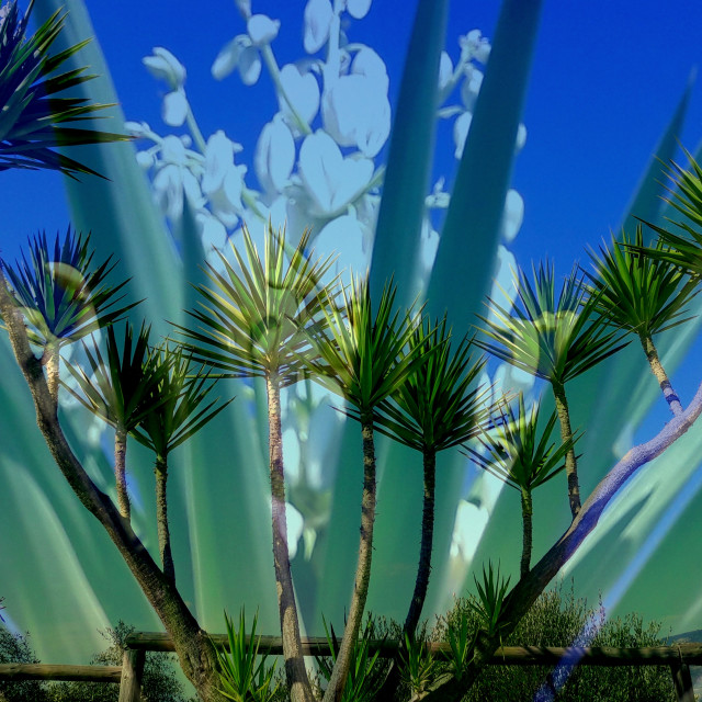 """""""flowering yucca"""" stock image"""