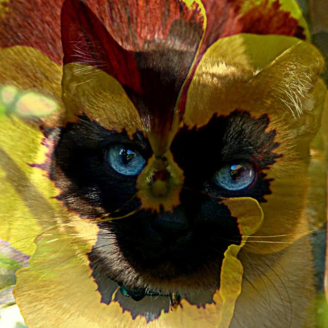 """Flower-Siamese"" stock image"