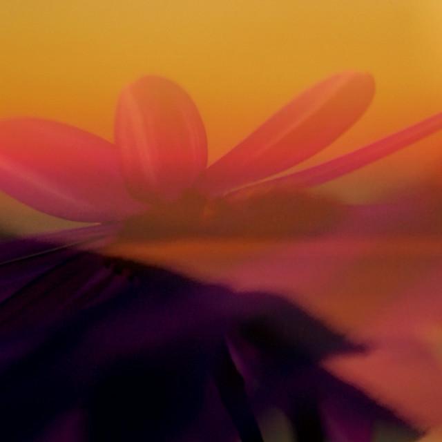 """Floating flower sunset"" stock image"