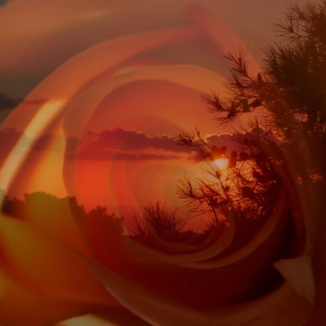 """""""Orange rose sunset"""" stock image"""