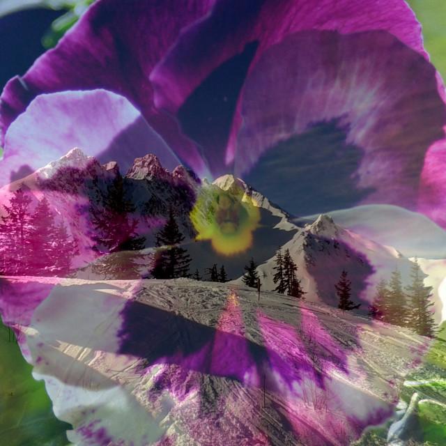 """Winter Viola"" stock image"