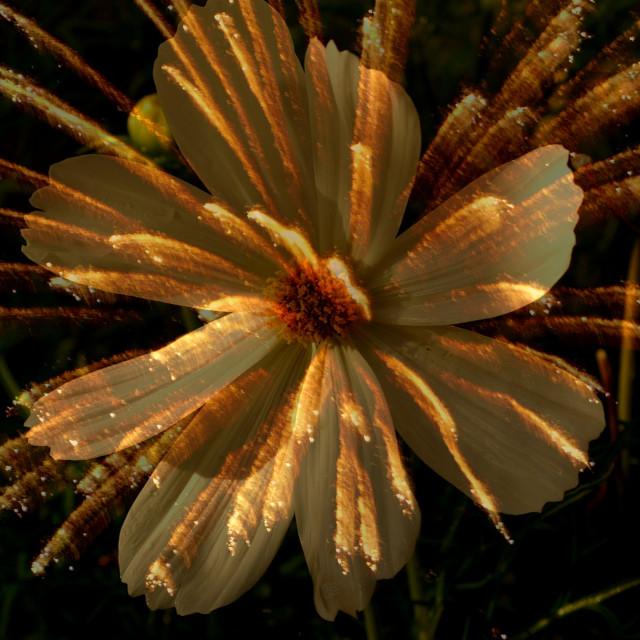 """""""Flower-firework ll"""" stock image"""