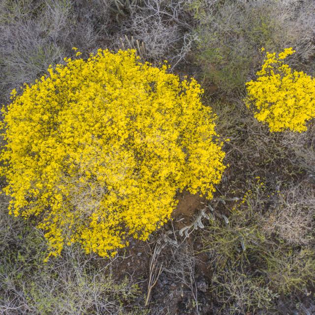 """Scenery with yellow Kibrahacha trees on island of Curacao / Caribbean"" stock image"