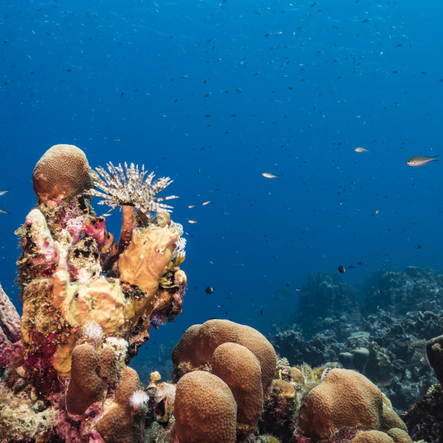 """""""Seascape in turquoise water of coral reef in Caribbean Sea / Curacao with Duster Worm, fish, coral and Stove-Pipe Sponge"""" stock image"""