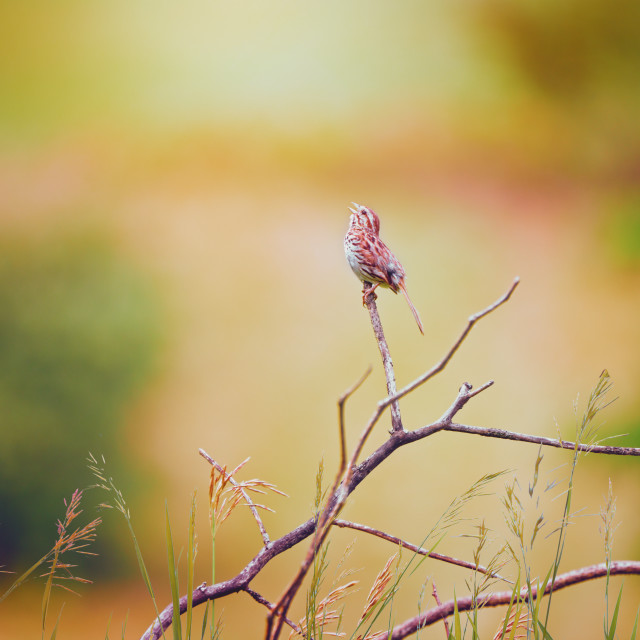 """""""The Song Sparrow"""" stock image"""