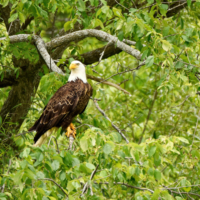 """Bald Eagle 3"" stock image"