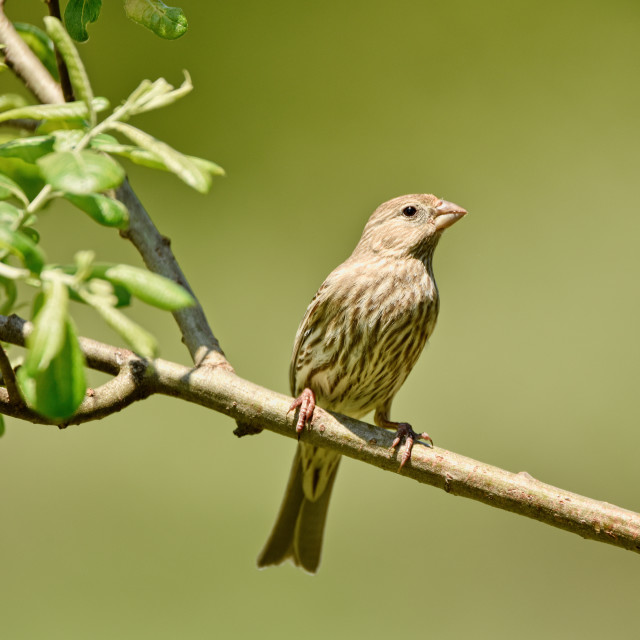 """""""The Female House Finch"""" stock image"""
