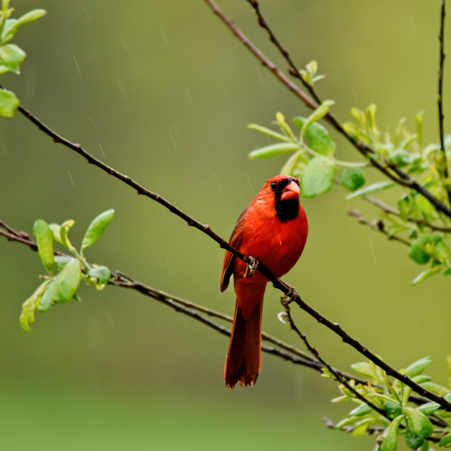 """""""A Male Northern Cardinal"""" stock image"""