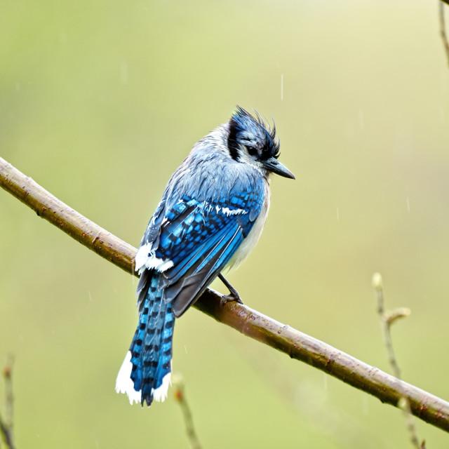"""Blue Jay in Rain"" stock image"