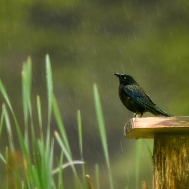 """Wet Feathers"" stock image"