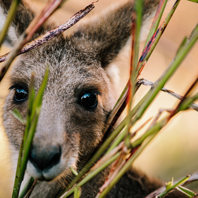 """Kangaroo Way 0290"" stock image"