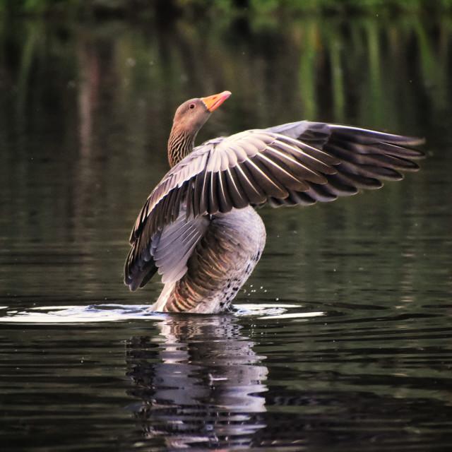 """""""Greylag Goose. (Anser anser)"""" stock image"""