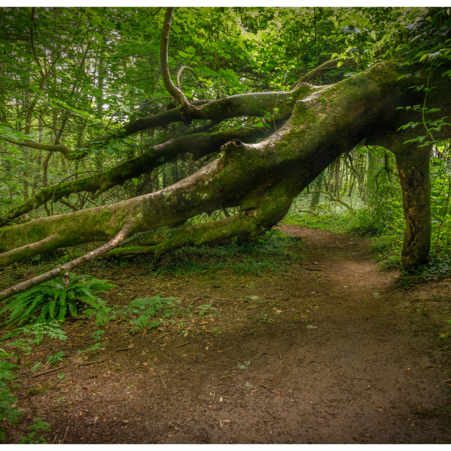 """Fallen Tree Barrafundle"" stock image"