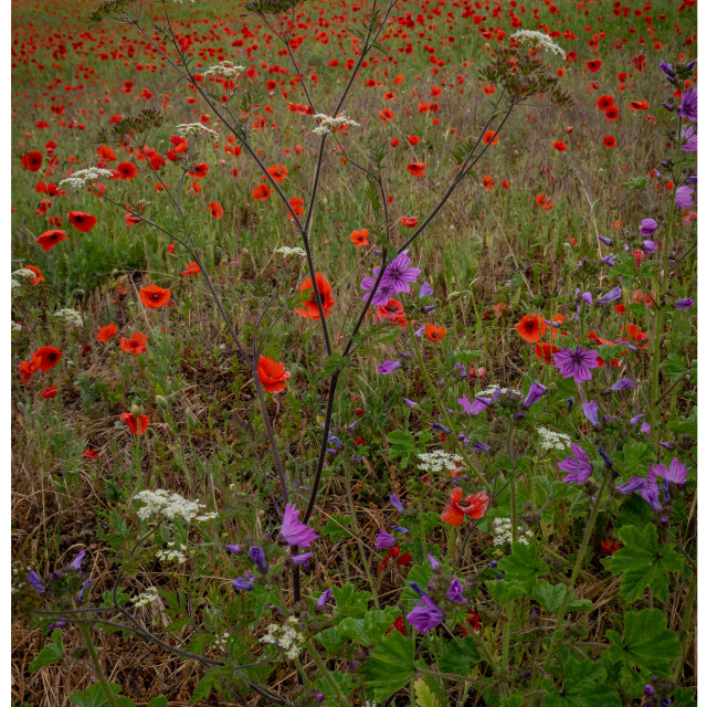 """""""Flowers and poppies in a field"""" stock image"""