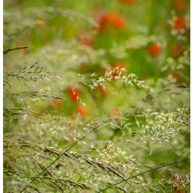 """""""Grass and Poppies"""" stock image"""