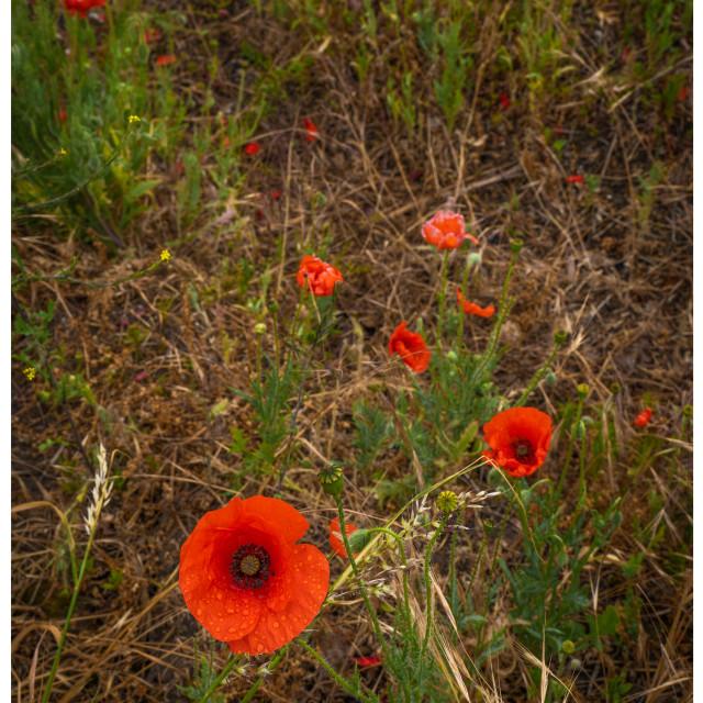 """Poppies in field Faversham 2"" stock image"