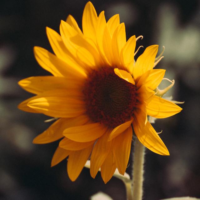 """""""Sommflower"""" stock image"""