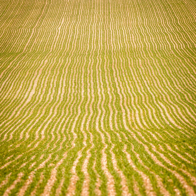 """perspective on a wheat field in spring"" stock image"