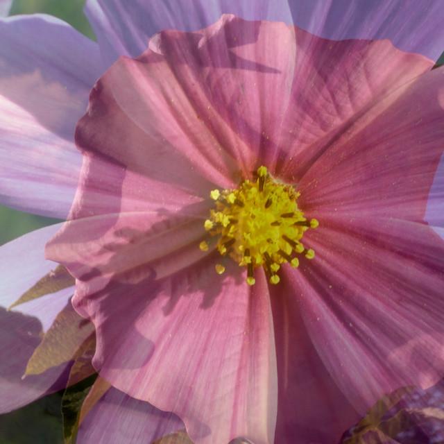 """Double flower"" stock image"