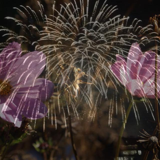 """purple fireworks"" stock image"