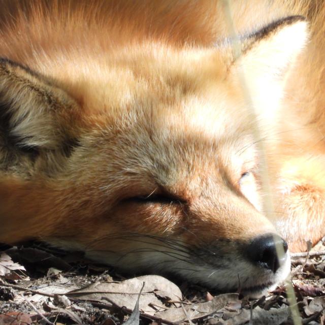 """Sleeping Fox"" stock image"