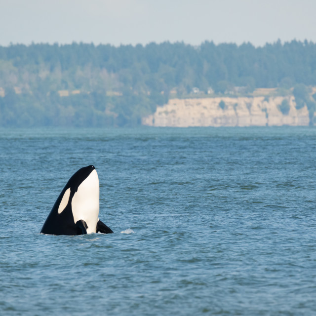 """""""Transient Orca Spyhops off Point Roberts"""" stock image"""