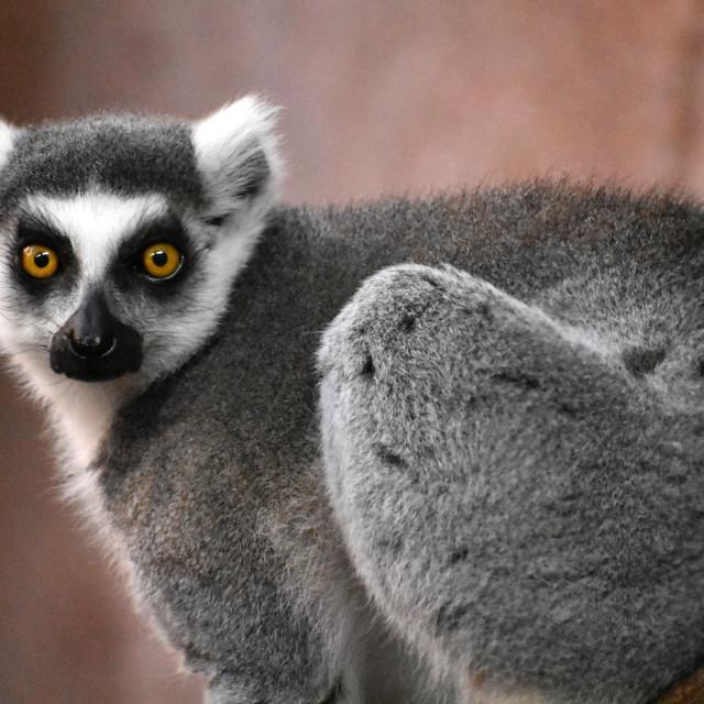 """""""Wide-Eyed Lemur"""" stock image"""