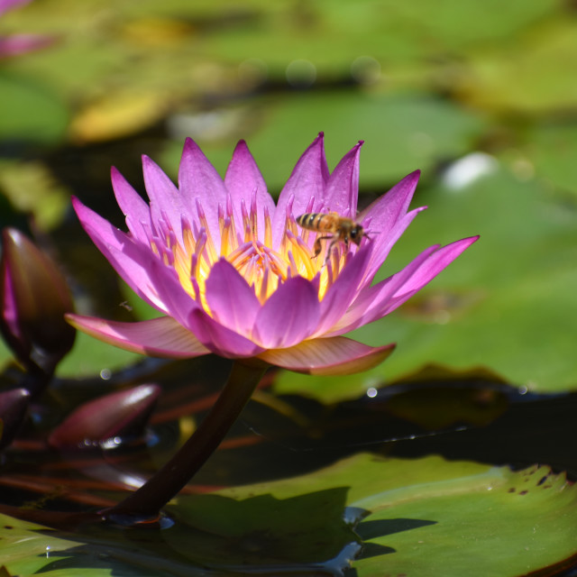 """""""Magenta Waterlily with Bee"""" stock image"""