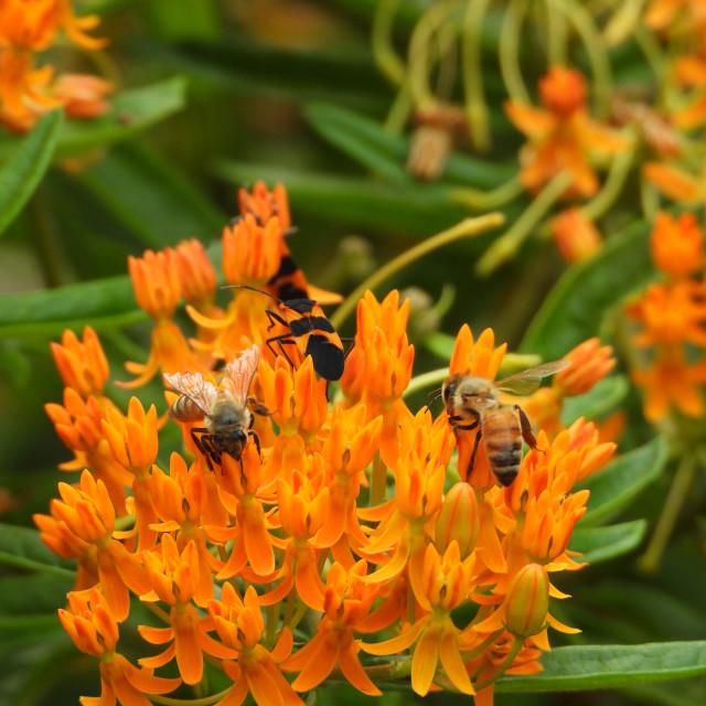 """Bees on Orange Flowers"" stock image"