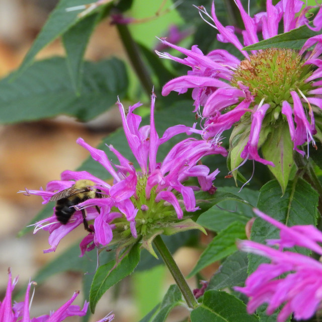"""""""Bee and Purple Daisies"""" stock image"""