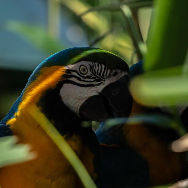 """Macaw."" stock image"