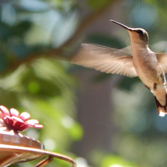 """Hummingbird with Feeder"" stock image"