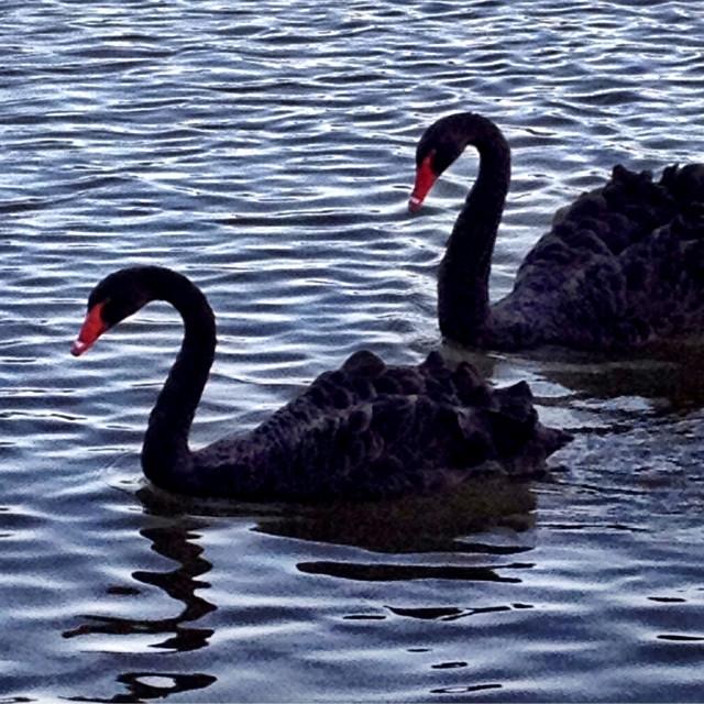"""Black Swans"" stock image"
